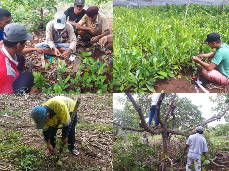 Pelatihan Petani Mete di Sulawesi Selatan
